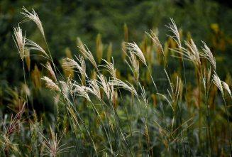 Grass reeds on Geumjeong Mountain in Busan Korea
