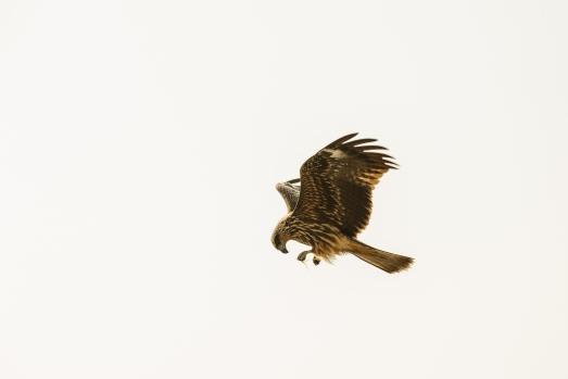 A hawk circling above Enoshima Island, home of the 2020 Summer Japan Olympic sailing events